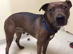 SAFE 1-27-2016 --- Staten Island Center DUTCH fka NIRVANA – A1063389  MALE, BROWN / WHITE, PIT BULL MIX, 2 yrs STRAY – ONHOLDHERE, HOLD FOR ID Reason OWN ARREST Intake condition UNSPECIFIE Intake Date 01/21/2016,