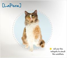 The LaPerm's curly hair is a result of a naturally occurring genetic mutation that was first noted in 1982, when Speedy, a barn cat owned by Linda and Richard Koehl of Oregon, gave birth to a litter of kittens. One of the kittens, born bald with tabby markings on her skin, went on to develop a soft curly coat. Curly, as she was named, became the founder of the breed, which has been bred selectively to strengthen the curly fur trait.