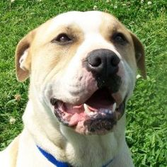 Gus D18 is an adoptable Boxer Dog in Huntsville, AL. Gus is about 2 years old and he is so awesome that you have to meet him to believe it! He knows sit, down, shake hands and loves to fetch the ball....