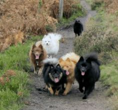 The Klein German Spitz is a very old breed of dog descended from Nordic herding dogs that probably came to Europe together with the Vikings.