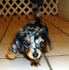 Mini Dapple Dachshund for Sale Dachshunds For Sale, Pets For Sale, Dachshund Puppies, Dachshund Love, Cute Puppies, Dogs And Puppies, Daschund, Dapple Dachshund Miniature, Miniature Dachshunds
