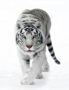 Foto: https://plus.google.com/communities/110350610111158615987 I love animal....... Grandes felinos Incluye a las cuatro especies de felino en el género Panthera: el león (Panthera leo), tigre (Panthera tigris), leopardo (Panthera pardus) y el jaguar (Panthera onca). Los miembros de este género son los únicos capaces de rugir,   #tiger #Animal #leopard #SnowLeopard #wildlife #dog #wildlifephotography #wildlifephotos #feline #Wildlife
