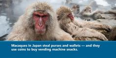 Japanese Macaques steal purses then use the money to buy snacks from vending machines... and 29 other interesting facts.