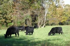 Registered Brangus Cattle - they are pets around here... Photo credits unknown.