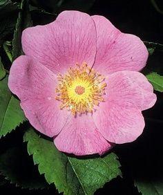 virginia rose....excellent coastal planting