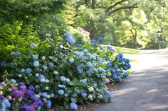 Penny Mac Hydrangea for Sale | The Planting Tree