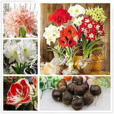 2 PCS Amaryllis ampoules Vrai Hippeastrum ampoules fleurs (Pas graines) La Barbade Lily en pot maison jardin Balcon plante Bulbeuse