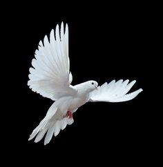 Dove Bird Peace   The development of dovecotes