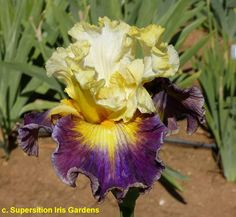 """'Fusion' (Michael Sutton, R. 2009). Seedling U-174-A. TB, 35"""" (89 cm). Late to very late bloom. Standards bright yellow, white streaks at edge, slight green veining at base and midribs; style arms cream blending to yellow, white crests; Falls bright yellow sunburst at beards blending to ruby red, then blending to plum, blue lavender highlights on lower 3/4 of petal, 1/8"""" blue rim on upper half of petal, tan rim on lower Sutton 2016"""