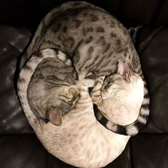 .cats. The real Yin Yang Twins. Cute Cats, Pretty Cats, Beautiful Cats, Funny Cats, Animals Beautiful, I Love Cats, Animals And Pets, Cute Animals, Sleepy Cat