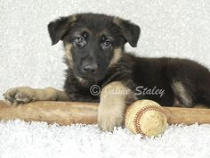 German Shepherd puppy laying with a baseball and bat on a white background.       Training the puppy...  http://www.trainingdogsvideos.com/