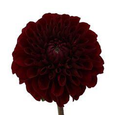 FiftyFlowers.com - Dahlia Flower Velvet Wine
