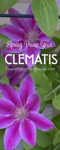 Spring Pruning my Clematis - Flower Patch FarmhouseFacebookGoogle+InstagramPinterestTwitterYouTubeEmailFacebookGoogle+InstagramPinterestRSSStumbleUponTwitterYouTube