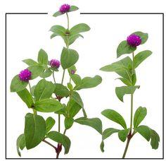 Botoncillo / Gomphrena globosa / globe amaranthus: Philippine Medicinal Herbs / Philippine Alternative Medicine