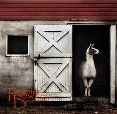 """Llama"" 8x10 Original Photograph by Tammie Bowden"