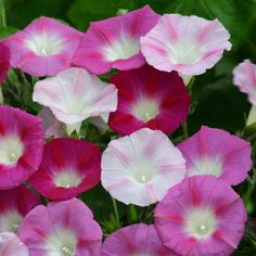 La Vie en Rose Morning Glory Seeds from Park Seed Morning Glory Vine, Morning Glories, Climbing Vines, Exotic Flowers, Hanging Baskets, Bold Colors, Pin Collection, Greenery, Art Projects