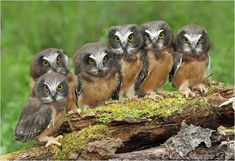 Whet Owlets by Bill Saunders