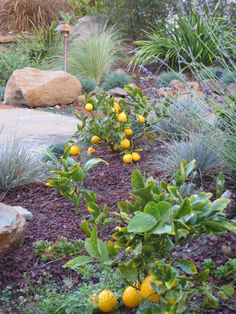 Like how she mixes dwarf Meyers into her landscaping. Dwarf Meyer lemon bush (trees) are perfect for tiny gardens!  Who says you need massive land space to grow an orchard of citrus? Not in my garden world!  I have 7 dwarf Meyer Lemon (Imp...
