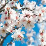No Flowers On Almond Trees: Reasons For An Almond Tree Not Flowering Almond trees are wonderful assets to have in the garden or orchard. But what do you do if your beloved tree isn't flowering, let alone producing nuts? Learn more about what to do when your almond tree won't bloom in this article so you can harvest the nuts you long for.