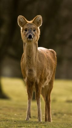 The Chinese water deer have enlarged upper canine teeth forming sharp tusks, while other species often lack upper canines altogether. The cheek teeth of deer have crescent ridges of enamel, which enable them to grind a wide variety of vegetation. Beautiful Creatures, Animals Beautiful, Cute Animals, Beautiful Things, Animal 2, Mundo Animal, Bizarre Animals, Unusual Animals, Exotic Animals