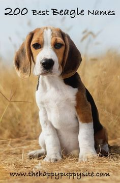 Beagle Names - 200 Great Ideas For Naming Your Beagle Beagle Names, Puppy Names, Dog Names, Cute Beagles, Cute Puppies, Dogs And Puppies, Art Beagle, Beagle Puppy, Beagle Rescue