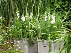 Vit Gladiolus i kruka.