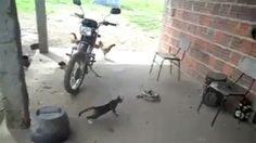 Video: Cat Stalking a Snake Gets Scared - A Funny Video on KillSomeTime