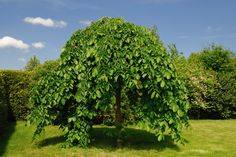 Weeping Mulberry Trees are very beautiful small to medium weeping trees with large glossy heart shaped leaves. Features small red flowers and edible fruit.
