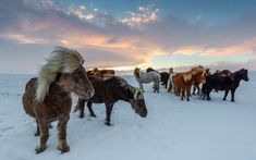 Shop Iceland Wild Horses Travel Photo Postcard created by TS_Squared_Travel. Personalize it with photos & text or purchase as is! Horses In Snow, Wild Horses, Nikon D800, Public Domain, Iceland In November, Horse Movies, Iceland Photos, Horse Posters, Icelandic Horse
