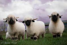 prendwick farm, valais blacknose sheep, aberdeen Angus | Valais Blacknose Sheep Northumberland