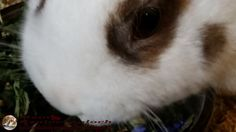 Kaninchenfan Lucky - Mein Kaninchenloch: fresh dandelion, what do rabbits need more (^_~)  #rabbits #kaninchen #hare #lapin #usagi #hasen #bunny #pets #haustiere  kaninchenfanlucky-meinkaninchenloch.blogspot.de/2015/02/fresh-dandelion-what-do-rabbits-need.html