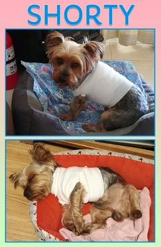 """Neal J. Backues: """"I was working on our little RV and the pit bull owners were chasing their dog down again when it came in our driveway and attacked Shorty.""""   """"Shorty suffered 4 deep puncture wounds in his sides and one in his neck. He required 30 stitches.""""   (Top photo is after Shorty's second surgery, 4 days after the Easter Sunday attack. Bottom photo is day 11, still bandaged like a mummy.)"""