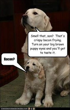 Labs & bacon...lol