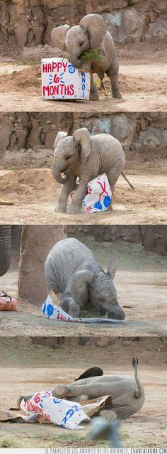 El regalo de cumple de este elefantito de 6 meses tuvo un final poco afortunado 6 Meses