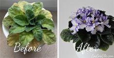 African Violet Fertilizer Before and After • EmGeeElle.com