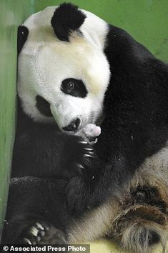 In this photo taken Sunday Aug. 10, 2014, Giant panda Ju Xiao caresses one of her triplet panda cubs in her cell at the Chimelong Safari Park in Guangzhou in south China's Guangdong province. China announced Tuesday, Aug. 12, 2014 the birth of extremely rare panda triplets in a further success for the country's artificial breeding program. The three cubs were born July 29 in the southern city of Guangzhou, but breeders delayed an announcement until they were sure all three would survive, ...