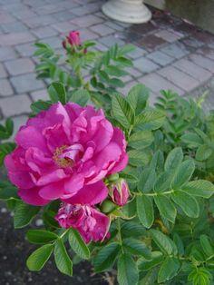 Shrub roses - so carefree! by geraldine