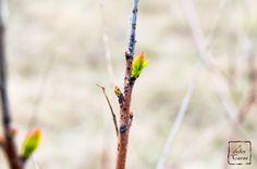 """Prime foglie di Scotano o """"sommaco"""" (Cotinus coggygria), Carso, Italy"""