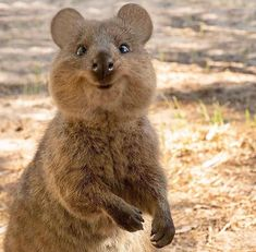 Found on Rottnest Island Perth Super Cute Animals, Cute Funny Animals, Happy Animals, Animals And Pets, Australia Animals, All About Animals, Poodles, Wild Life, Exotic Pets