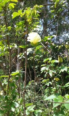 Flor de algodão