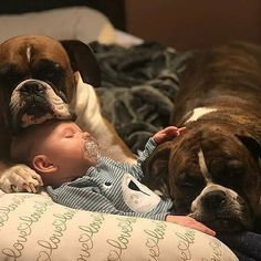 Boxer dogs are quite loyal, and their temperament is good enough for a relationship with children. Boxer And Baby, Boxer Love, Baby Dogs, Cute Boxer Puppies, Cute Dogs, Doggies, Brindle Boxer Puppies, Samoyed Dog, Boxer Dogs Facts