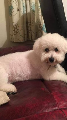 50 Shades of Bichon Frise · The Inspiration Edit Bichon Frise, Bichon Poodle Mix, Bichon Dog, Shih Tzu Dog, Teacup Chihuahua, Animals And Pets, Baby Animals, Cute Animals, Yorkshire Terrier