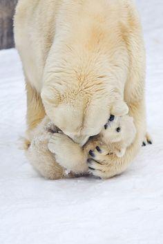 Polar bear mom and cuddly cub Cute Baby Animals, Animals And Pets, Funny Animals, Wild Animals, Animals Kissing, Beautiful Creatures, Animals Beautiful, Majestic Animals, Tier Fotos