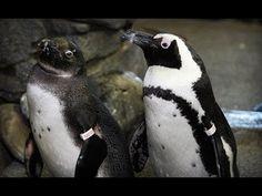 Live Blackfooted Penguins in HD - Monterey Bay Aquarium