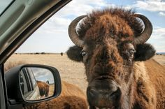 Buffalo at Wind Cave National Park, South Dakota Animal Pictures, Cute Pictures, Wind Cave, Custer State Park, American Bison, Extinct Animals, Amazing Grace, Wildlife Photography, Spirit Animal