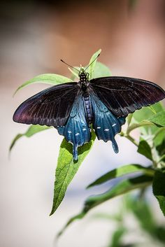 The Pipevine Swallowtail or Blue Swallowtail (Battus philenor) is a swallowtail butterfly found in North America and Central America.