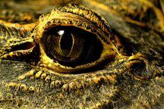 Crocodile Eye by Jäger & Sammler on Flickr.