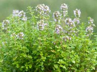 There are many types of thyme, with habits ranging from creeping to bushy, with various scents and flavors. They all grow well in free-draining compost and are clothed in small flowers in early summer.