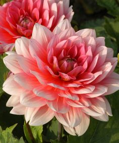 Patio Dahlia 'Berliner Kleene' Patio dahlia 'Berliner Kleene' with its low, compact growing habit and immensely rich deep pink with white tipped flowers is perfect for planting in pots and containers and for the garden border. They enhance your patio or Landscaping Shrubs, Garden Shrubs, Bulb Flowers, Beautiful Flowers, Dahlia Flowers, Summer Flowers, Growing Dahlias, Same Day Flower Delivery, Zinnias
