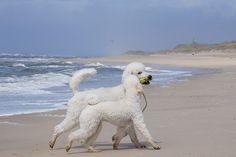 poodls: by Dina Kistermann